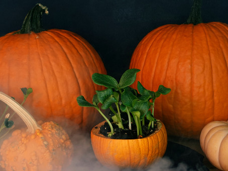 How to grow Microgreens at Home in Fall - Halloween style using Pumpkins!