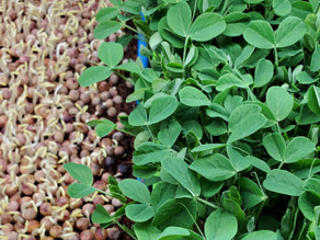 5 Microgreen Hacks: Everyday tools that will better your Microgreen growing experience