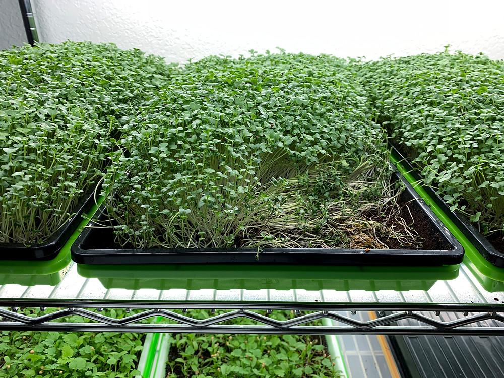 Damping Off on Broccoli Microgreens Tray