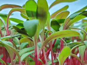How to Clean and Sanitize Microgreens Trays with Tips and Tricks from On The Grow, LLC