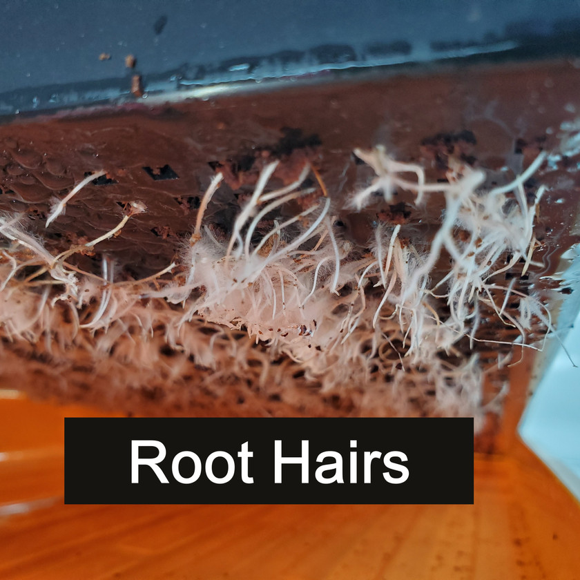 Microgreens Root Hairs not Mold