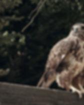 Sharp Shinned Hawk