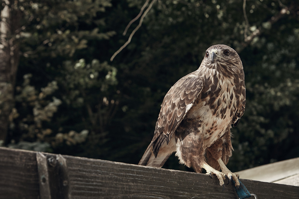hawks found in Park Forest trail systems