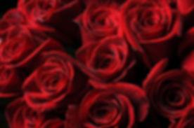 red-petals-rose-flower-plant-drops-roses