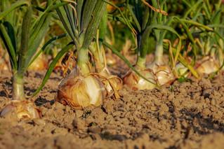 Aplicaciones del estado de alarma en el sector agrícola y ganadero