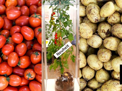 Hybrid Tomato, Potato Looms