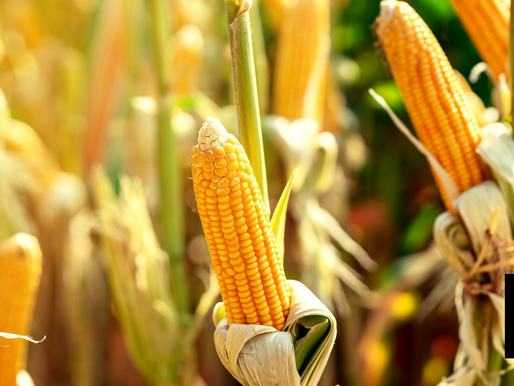 CORN RESIDUE LEFT AFTER HARVEST GOOD FOR WINTER GRAZING: U.S. STUDY