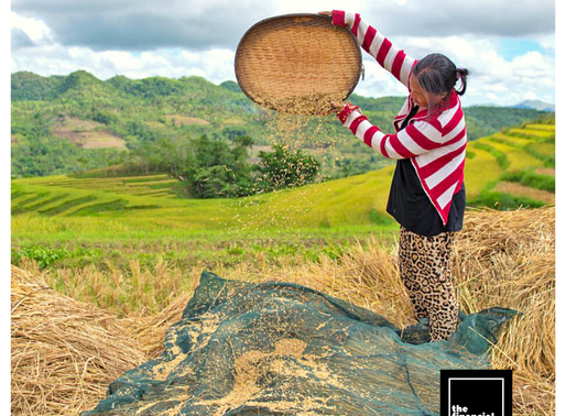 SMALL RICE FARMERS TO RECEIVE CASH AID