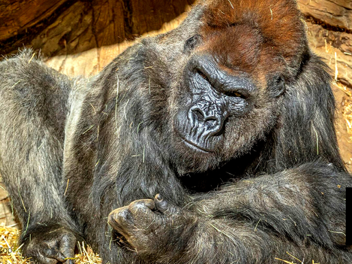 2 GORILLAS IN SAN DIEGO, CALIFORNIA ZOO INFECTED WITH COVID