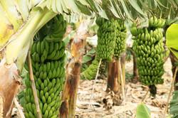 Bananen_8682