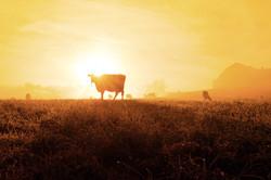 Golden_Cows_0402
