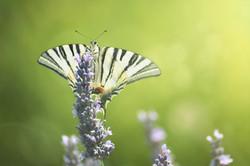Schmetterling_8282