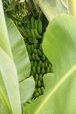 Bananen_8684