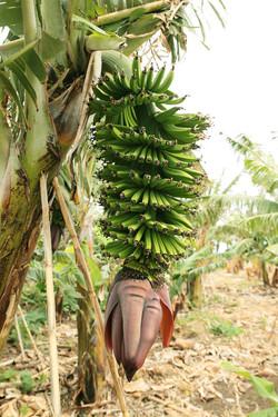 Bananen_8677