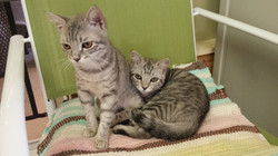 Silver Tabbies- Adopted!