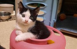 Kitten Dotzy-adopted 10/10/21