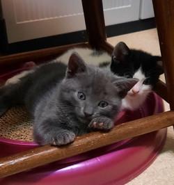 Kitten Cheshire