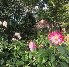 homegrowndahlias_edited.jpg
