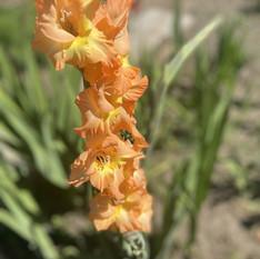 Home grown gladioli