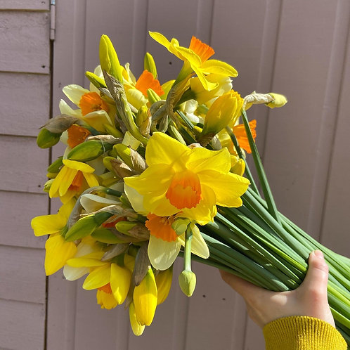Big bunch of daffodils and narcissus