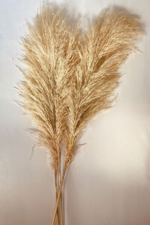Dried Bleached Pampus Grass