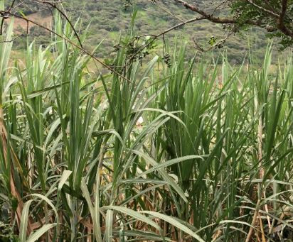 NHSuperfood visited a sugar cane plantation and Panela producers in Peru
