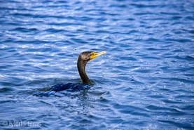 Submerged Duck