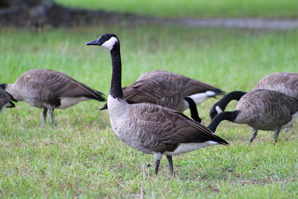 Cleveland Ave. Geese