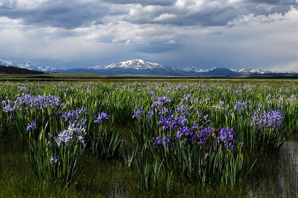 Wetlands & Wild Iris