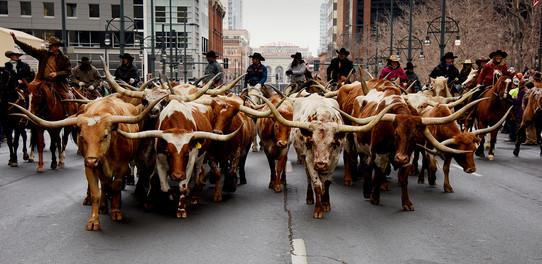 Steers on !7th St