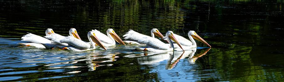 Pelicans magnificent 7