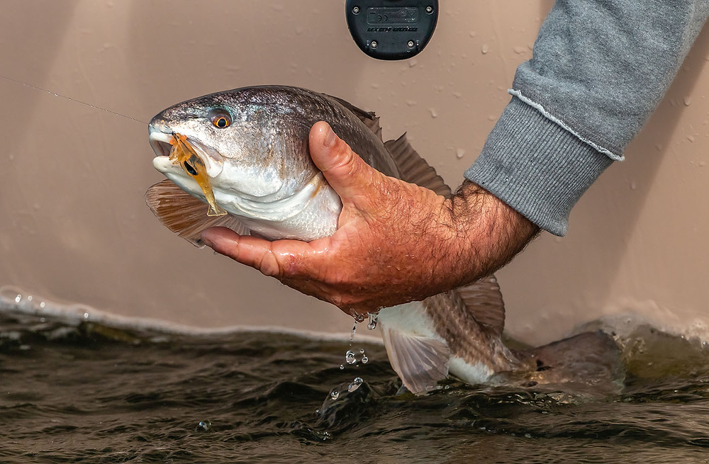 "Anclote Redfish on DOA Lures 2.75"" shrimp"