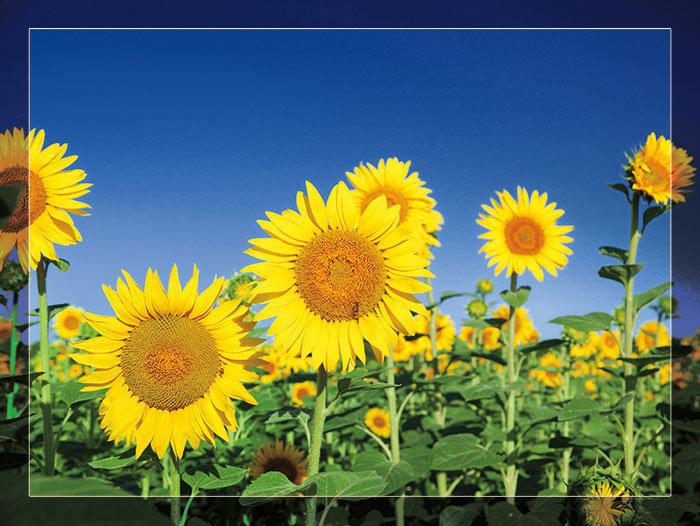 3'x4' Vinyl Banner - Sunflower Garden