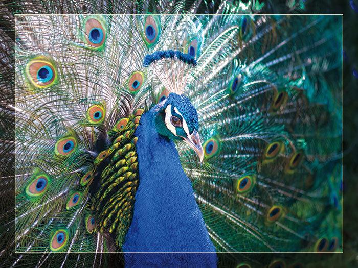 3'x4' Vinyl Banner - Peacock