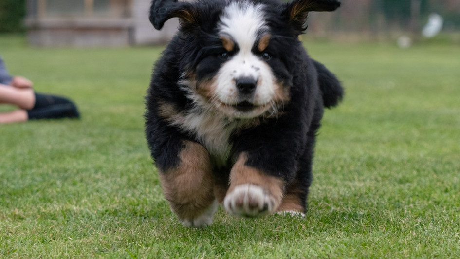 Puppy Bernese Mountaindog