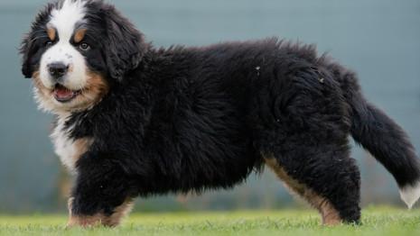 Bernese Mountaindog puppy wash