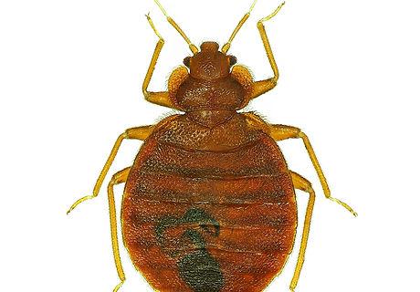 Bedbug (Cimex lectularius) isolated on w