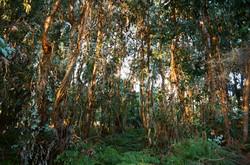 trees yoruk