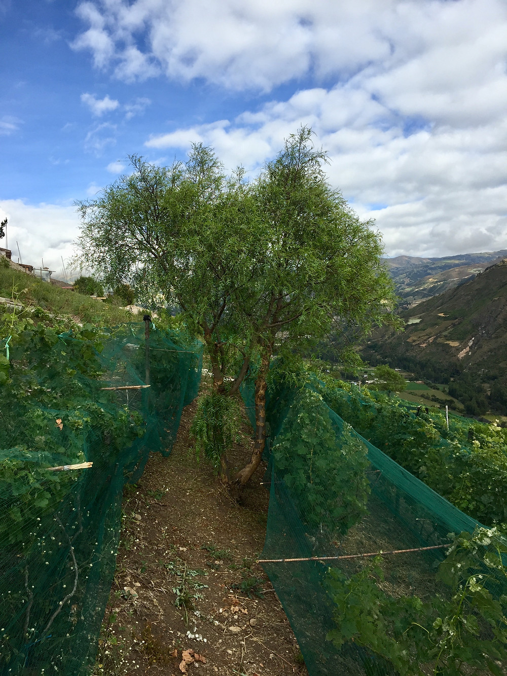 molle, andean plants, tree andes