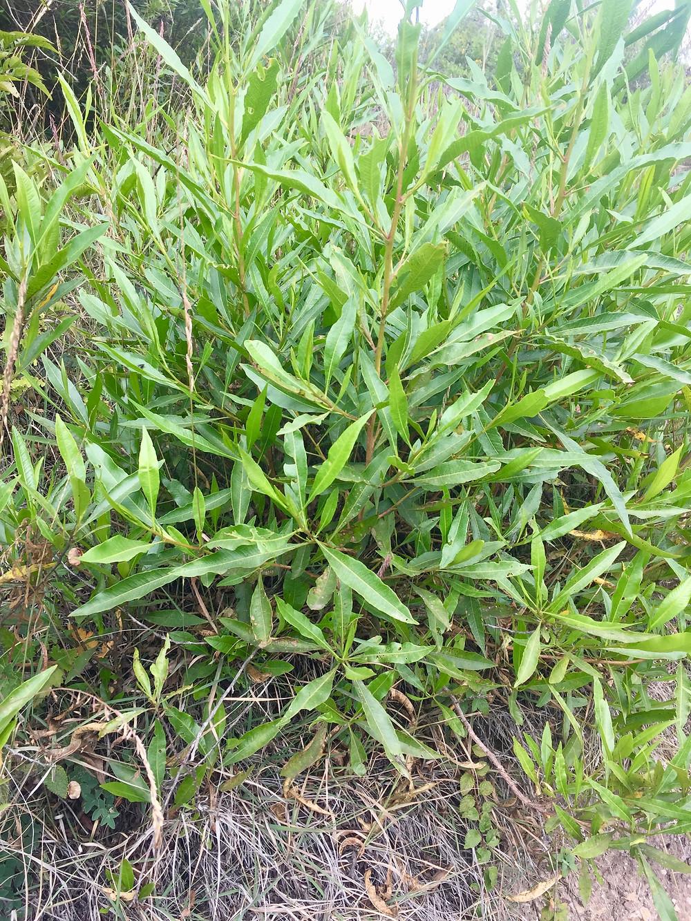 chamana, andean plants, shrub andes, hopbush