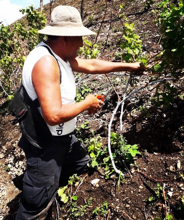 Pruning grapes at Apu Winery, Peruvian wine, winery peru, vineyards peru, high altitude wine, Serra da Mantiqueira wines, opposite schedule winery, opposite schedule vineyards