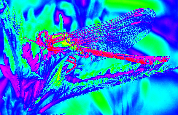 clubtail __070.png