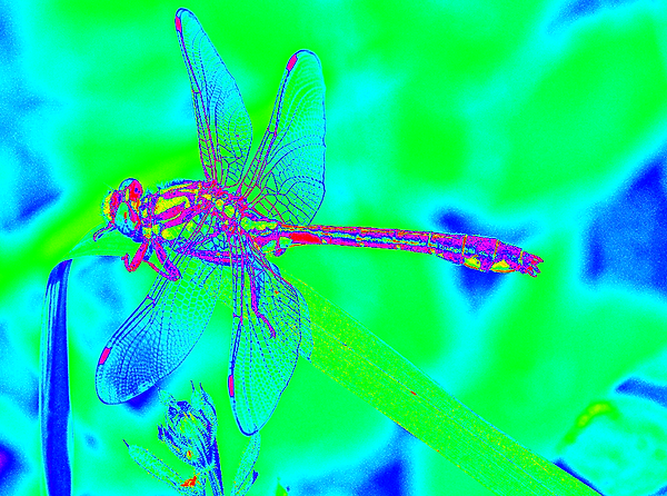 clubtail  __066.png