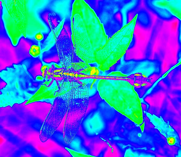 clubtail  __072.png