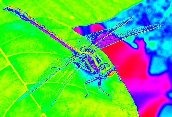 clubtail  __024.png
