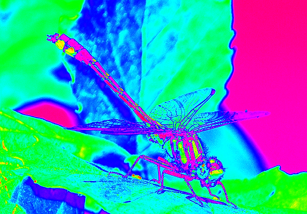 clubtail __087.png