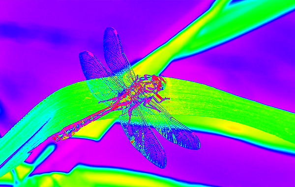 clubtail __027.png