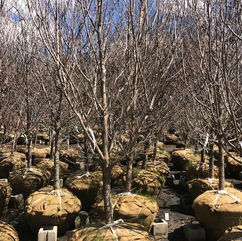 Svendsen & Keller | Woody Plants | Ridgefield, CT | Plant Sourcing | Landscape