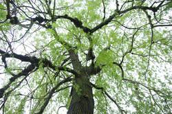 Landscaping | Specimen Trees | CT