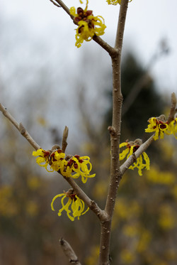 Woody Plants | Specimen Trees | NY